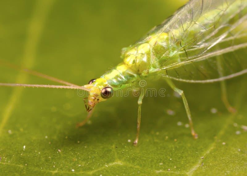 Goldener Auge Lacewing lizenzfreies stockbild