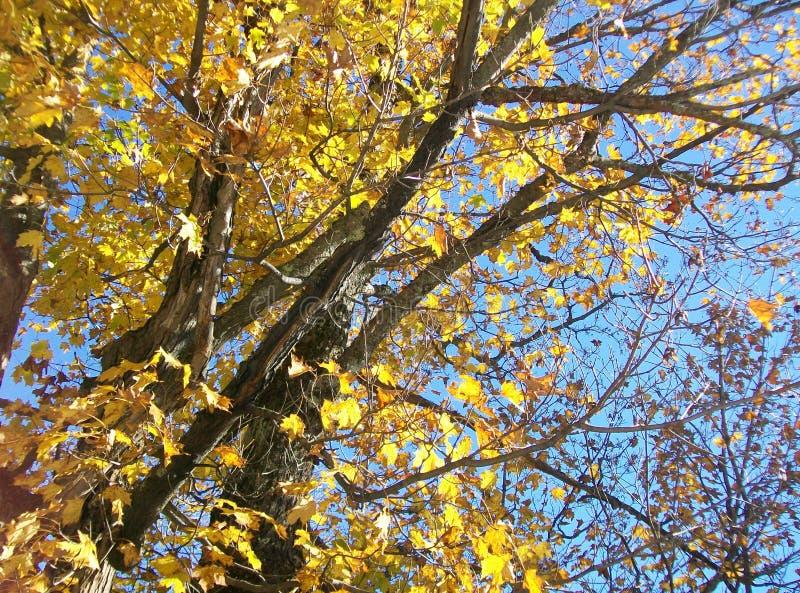 Goldener Autumn Maple stockbilder