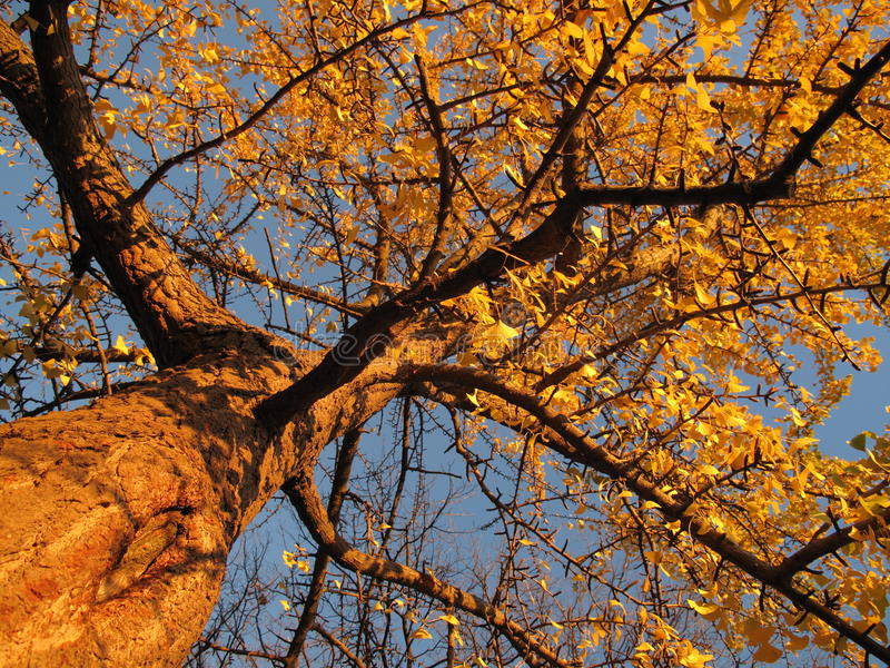 Goldener Baum im November lizenzfreies stockfoto