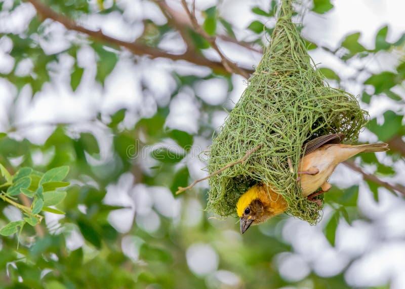 Goldener Baya-Weber Building Nest On der Baum lizenzfreie stockfotos