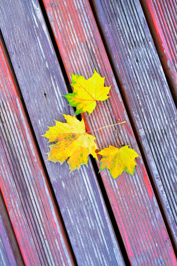 Goldener Fall-Laub-Herbst-Gelb-Ahornholz-Baum lizenzfreie stockfotografie