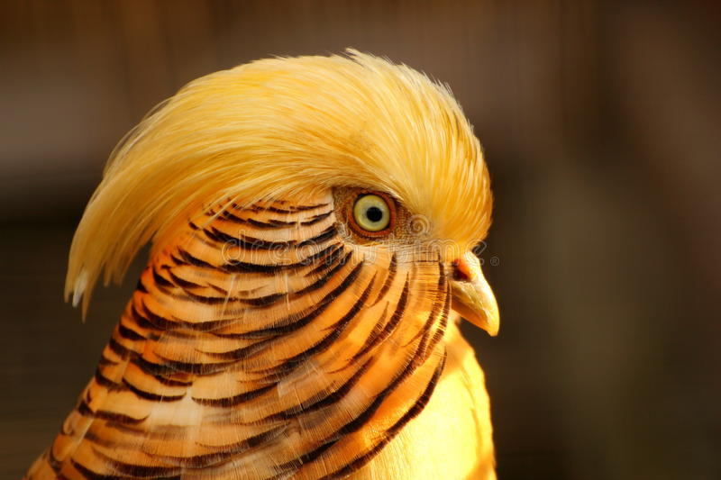 Goldener Fasan stockbild