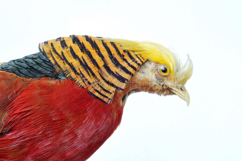 Goldener Fasan - Chrysolophus pictus stockfoto