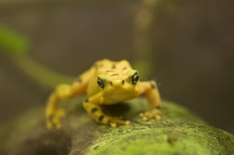 Goldener Frosch lizenzfreies stockbild