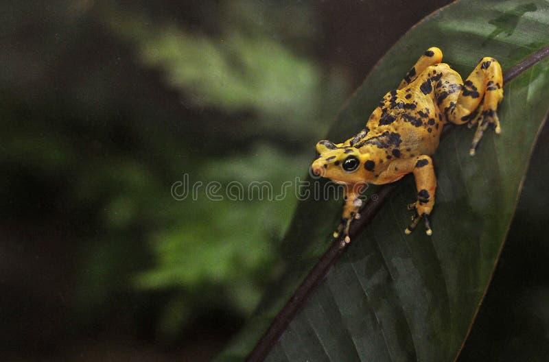 Goldener Frosch Panamian stockbild