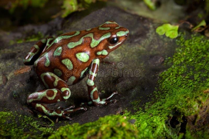 Goldener Giftpfeilfrosch des Panama-Regenwaldes lizenzfreies stockbild