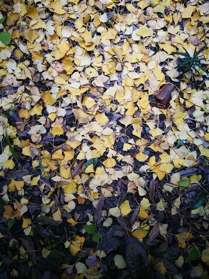 Goldener Ginkgo verlässt Bedeckung gerieben innerhalb des tiefen Herbstes lizenzfreies stockbild