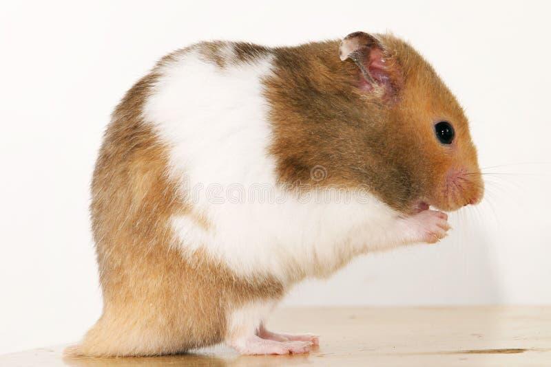 Goldener Hamster Stockbild