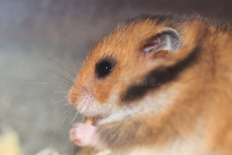 Goldener Hamster lizenzfreies stockfoto