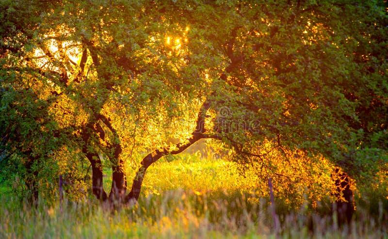 Goldener heller Sonnenuntergang und Baum lizenzfreies stockfoto