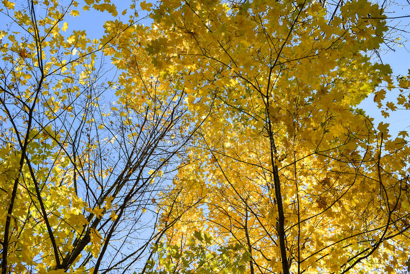 Goldener Herbst Autumn Maple Tree stockfotografie