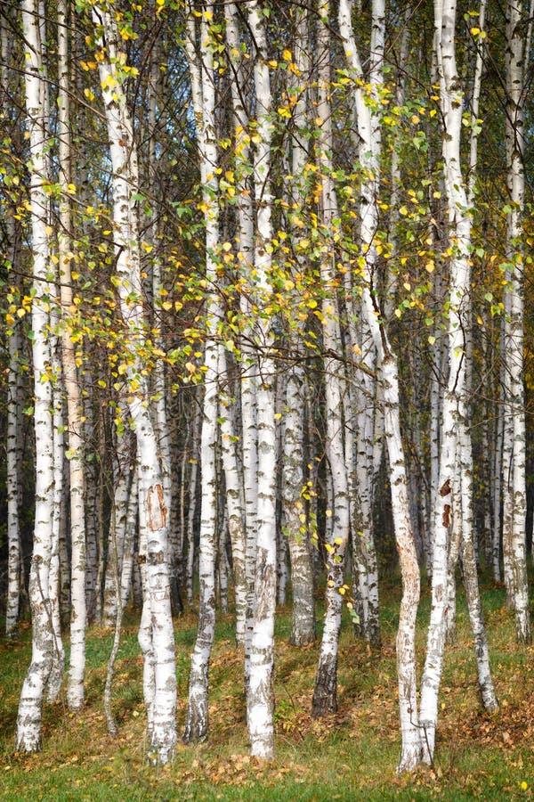 Goldener Herbst, Birkenwaldhintergrund lizenzfreie stockbilder
