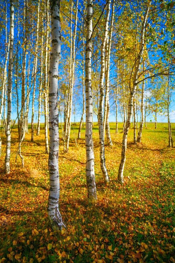 Goldener Herbst, Birkenwaldhintergrund lizenzfreie stockfotos