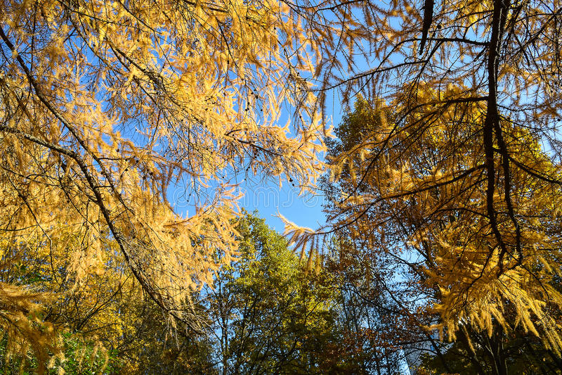 Goldener Herbst Fabelhafte Goldbaumaste am sonnigen Tag des Herbstes stockfotografie