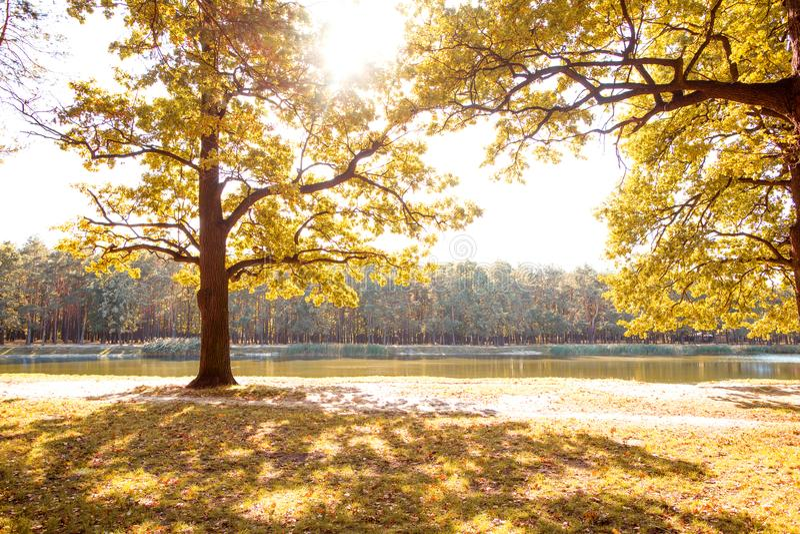 Goldener Herbst Herbstwald gegen den Hintergrund von einem See stockbilder