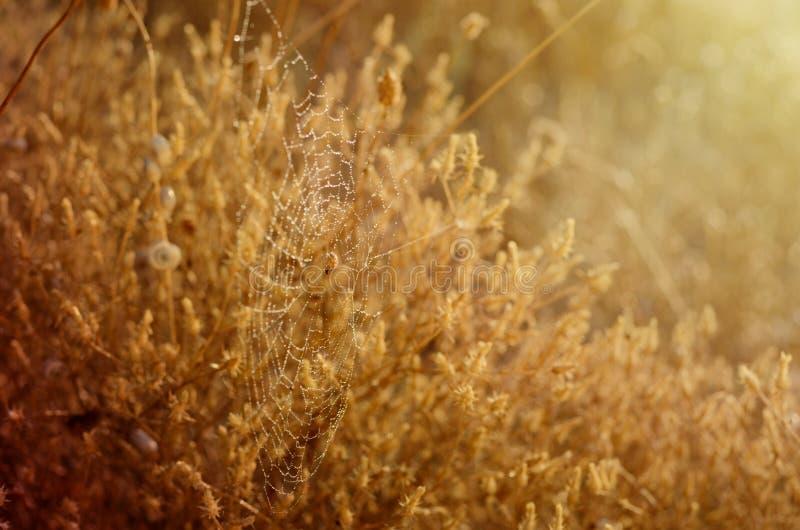 Goldener Herbsthintergrund Spinnennetz und -schnecken in den Tautropfen unter Morgen sonnen Strahlen stockfotos