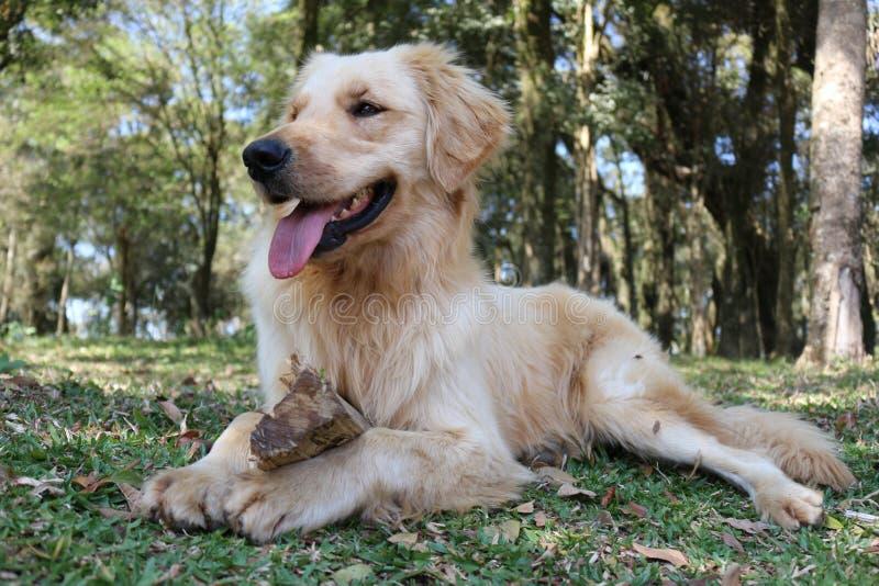 Goldener Hund, der im Wald kühlt stockbild
