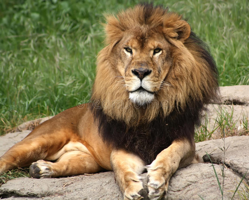 Goldener Löwe lizenzfreie stockbilder