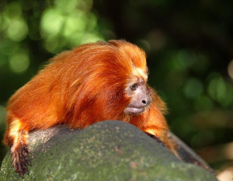 Goldener Löwe Tamarin stockfoto