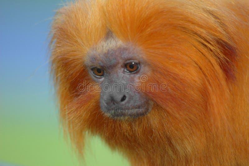 Goldener Löwe Tamarin lizenzfreie stockfotos