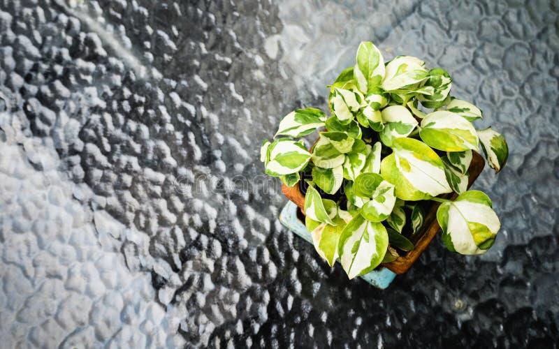 Download Goldener Pothos Anlage Im Topfvase Auf Glastisch, Draufsicht Mit Co Stockbild - Bild von hintergrund, flowerpot: 90228437