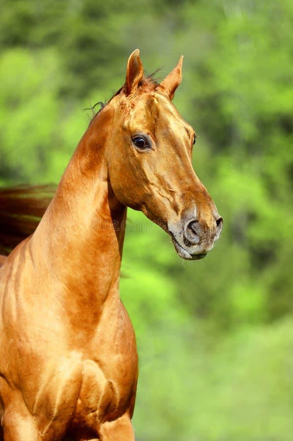 Goldener roter Pferdeportrait stockfotos