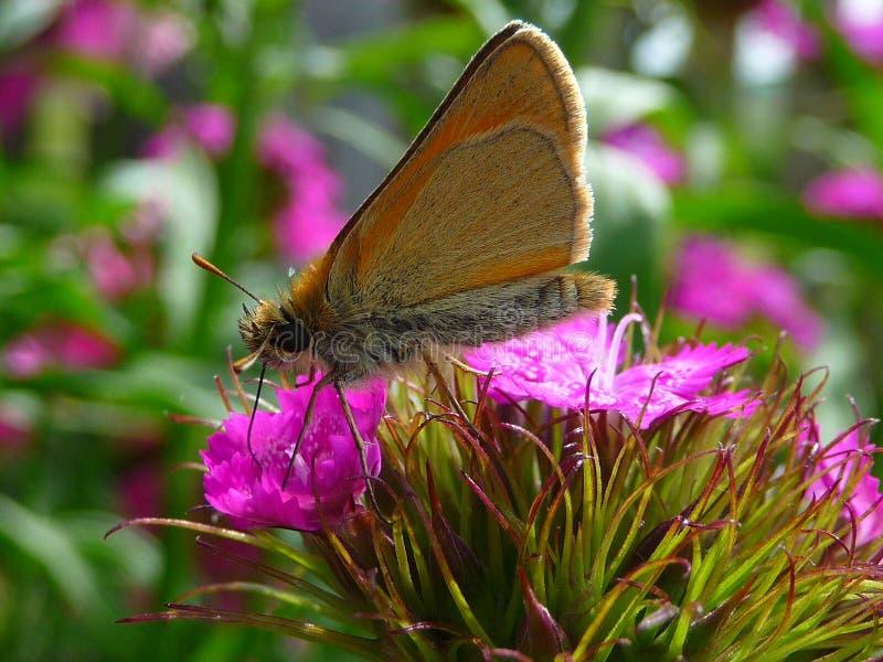 Goldener Schmetterling auf einer Blume lizenzfreies stockfoto