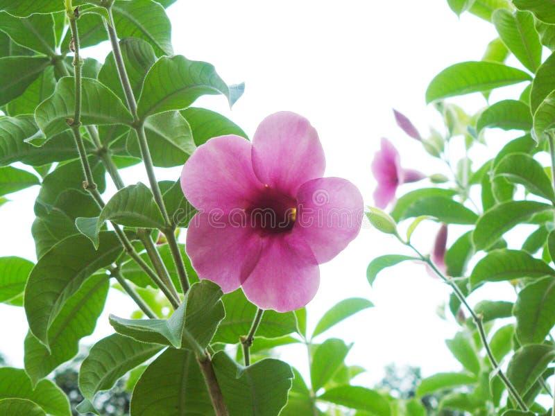 Goldener Stern in der Blume oder im purpurroten Bignonia, purpurroter Allamanda lizenzfreies stockfoto