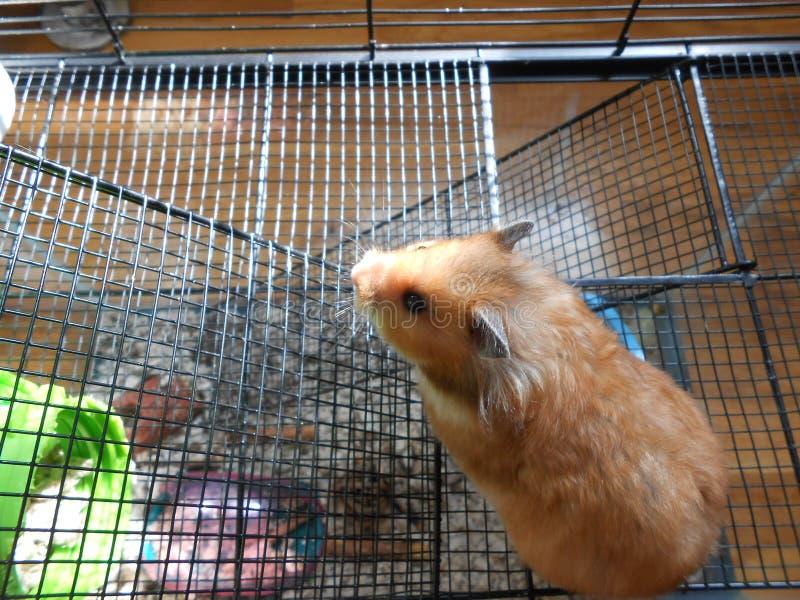 Goldener syrischer Hamster im Käfig lizenzfreie stockfotos