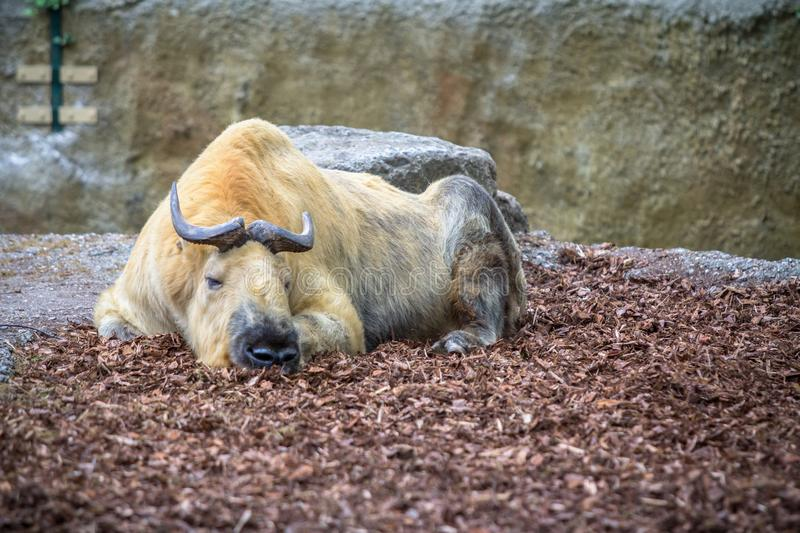 Goldener Takin in einem Zoo, Berlin stockbilder