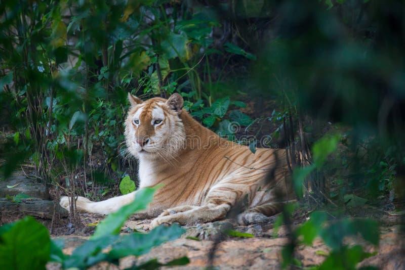 Goldener Tiger stockfotos