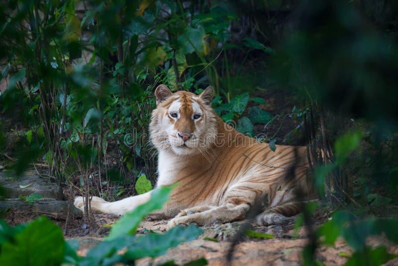 Goldener Tiger lizenzfreie stockbilder
