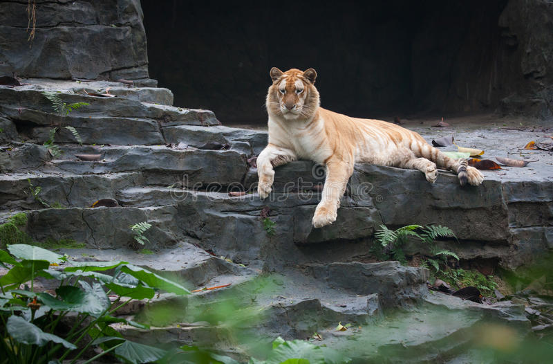 Goldener Tiger lizenzfreie stockfotos
