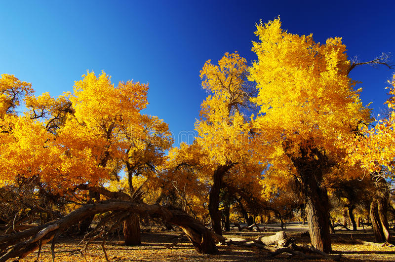 Goldener Wald stockfoto
