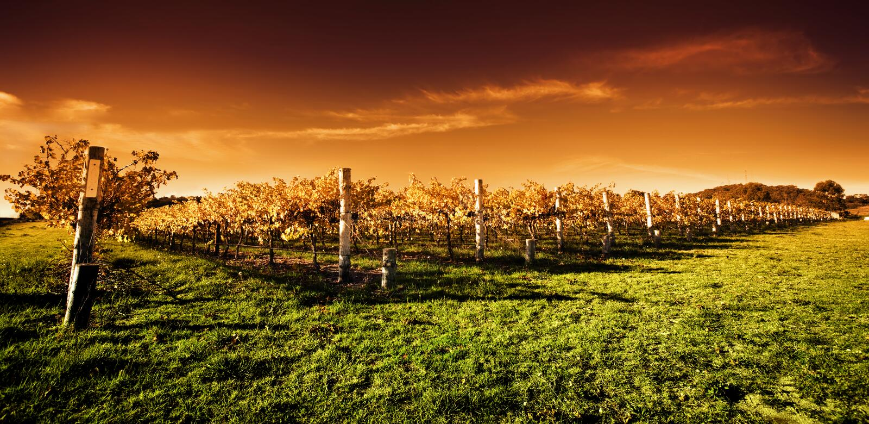 Goldener Weinberg-Sonnenuntergang stockbilder