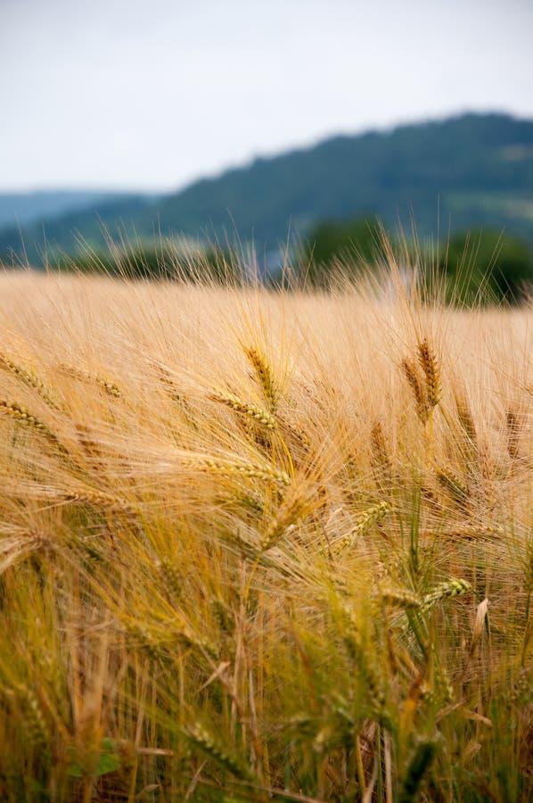 Goldener Weizen stockfoto