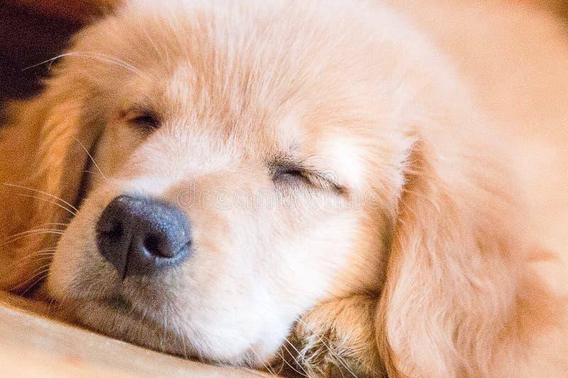 Goldener Welpe Schlafens stockfoto