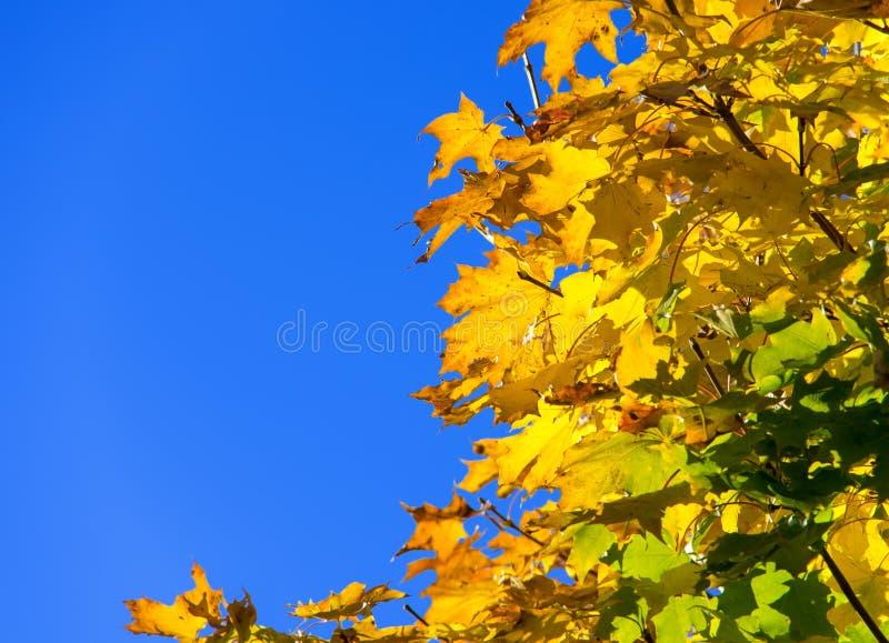 Goldenes Ahornblatt des blauen Himmels stockfotografie