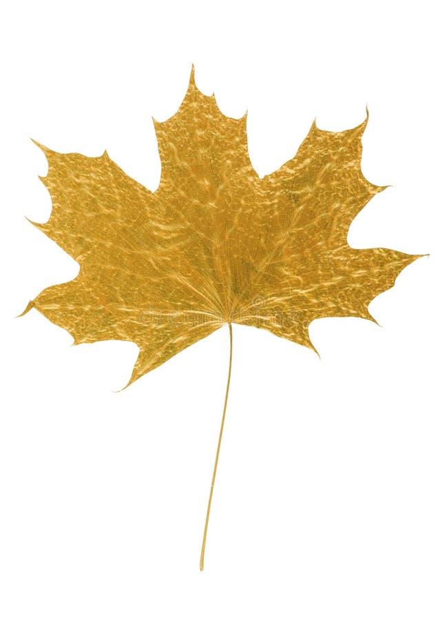 Goldenes Ahornholzbaumblatt lizenzfreie stockfotos