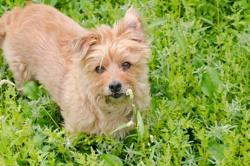 Goldenes australisches Terrier steht im Sumpfgebietseggen und -gräser lookig inquirinly mit einem defekten Grashalm über ein Auge lizenzfreie stockfotografie