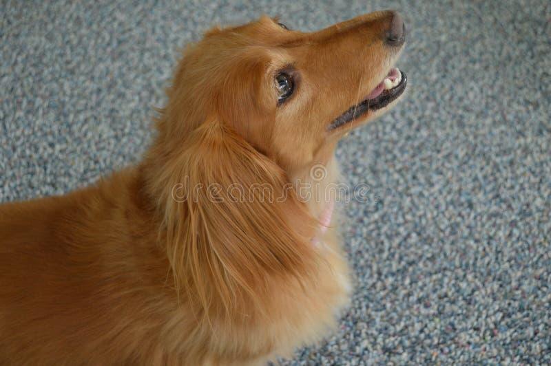 Goldenes Dachshund-Porträt stockfoto
