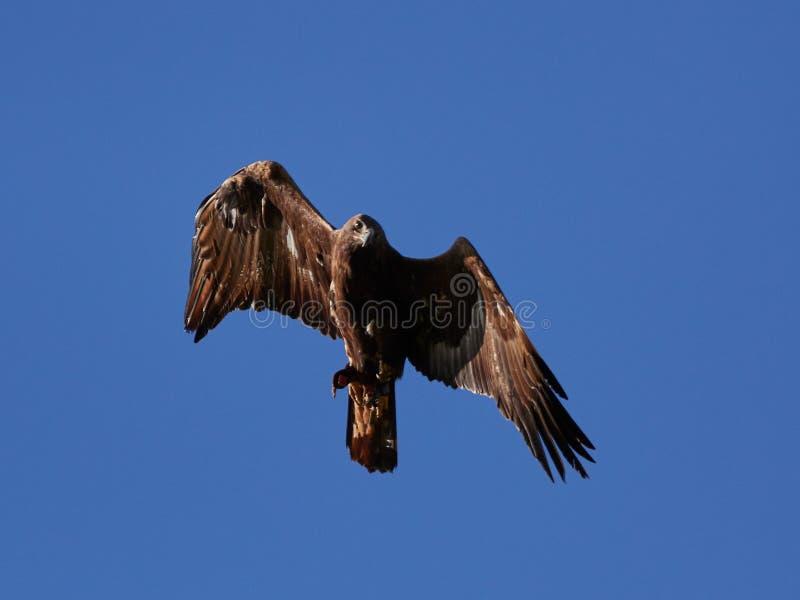 Goldenes Eagle Aquila-chrysaetos Fliegen lizenzfreie stockfotografie