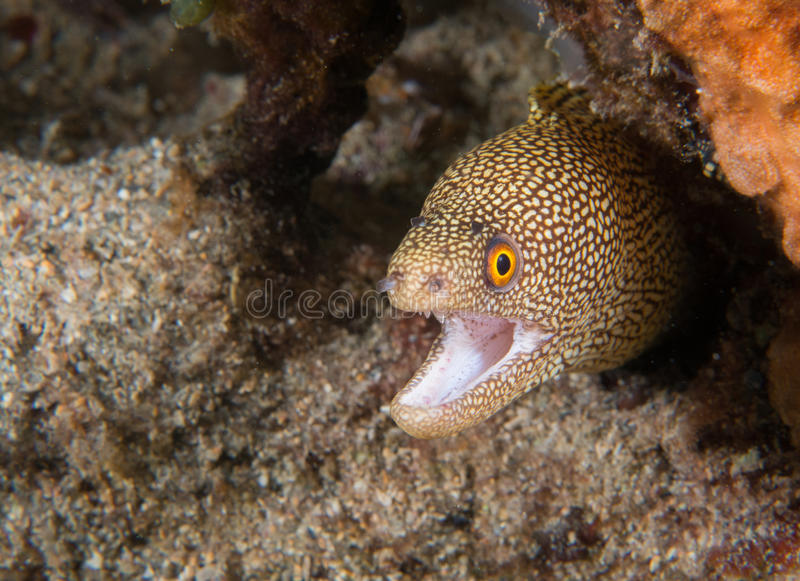 Goldenes Endstück Moray Eel auf einem Riff lizenzfreies stockfoto