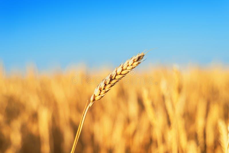 Goldenes Farblandwirtschaftsfeld reifer Weizenabschluß oben unter blauem Himmel stockfoto