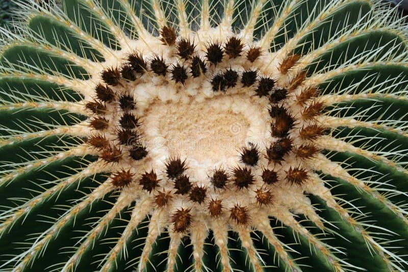 Goldenes Fass-Kaktus stockfotos