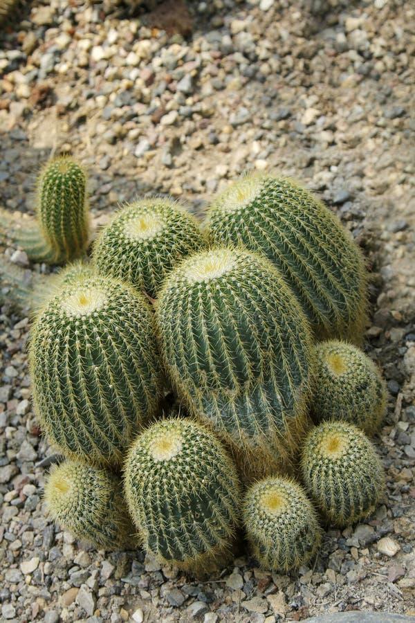 Goldenes Fass-Kaktus stockbilder