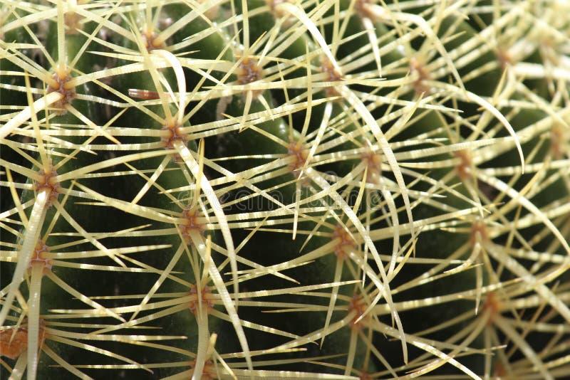 Goldenes Fass-Kaktus lizenzfreies stockbild