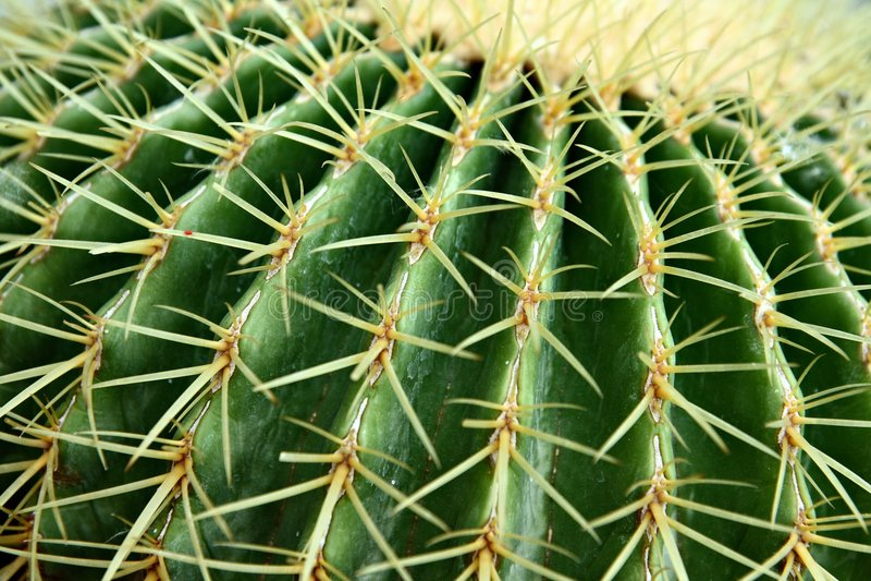 Goldenes Fass-Kaktus, Nahaufnahme lizenzfreie stockfotos