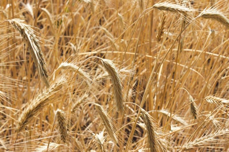 Goldenes Feld des Weizens bereit geerntet zu werden stockbild