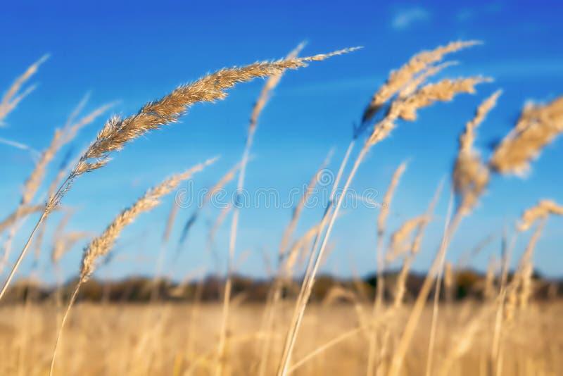 Goldenes Feld gegen den blauen Himmel lizenzfreie stockbilder